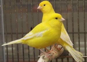 Canarios para la resaca